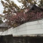 境内の垂れ桜…昔、和尚の私が苗木をここに植樹しました。
