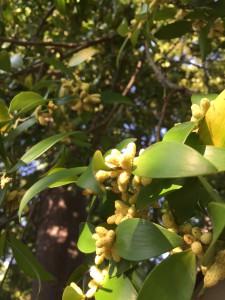 ナギノキの花